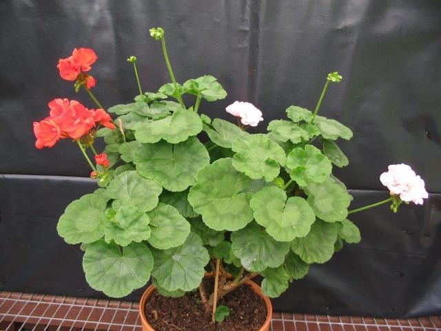 Diy Rainbow Calendar : Canberra geranium fuchsia socitey inc society news